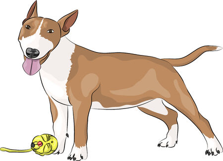 triangular eyes: Bull Terrier dog breed in the front with a toy isolated on a white background. Illustration