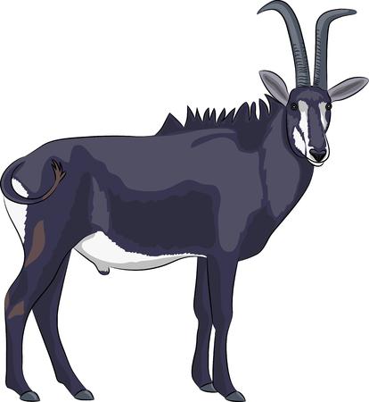 Black goat of antelope isolated on white background. Vector