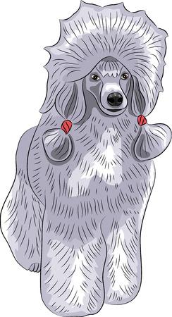 lap dog: Big barboncino blu con trecce isolato su sfondo bianco.