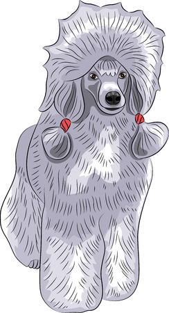 lap dog: Big blue poodle with pigtails isolated on white background. Illustration