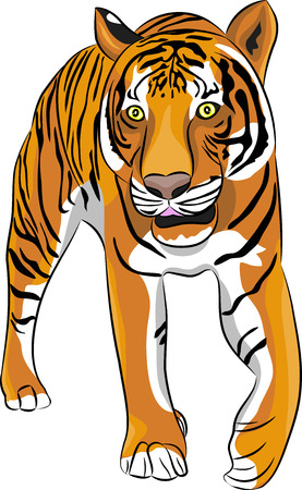 crouching: The image Large Crouching Tiger isolated on white background.