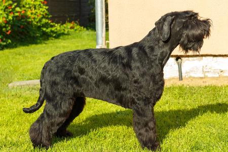 breed: Giant Schnauzer dog breed.