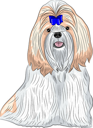 shih tzu: color drawing of the dog breed Shih Tzu isolated on a white background