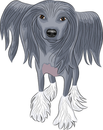 Chinese crested dog with long hair in full view. Vector