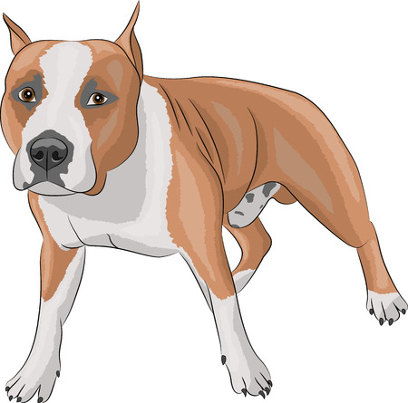 american staffordshire terrier in the rack isolated on white background Vector
