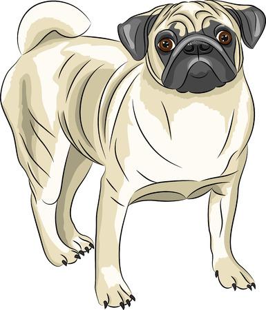 companions: Dog breed Pug isolated on white background.