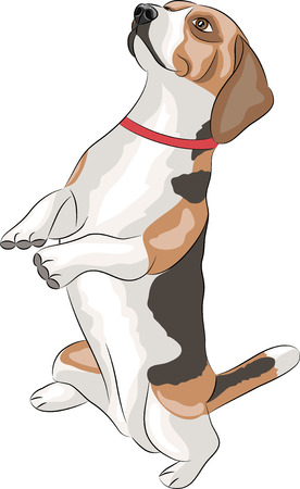 Beagle dogs sitting on his hind legs isolated on a white background. Vector
