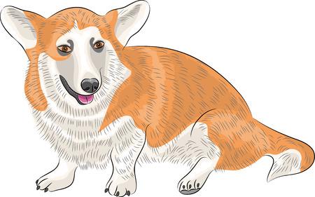 pembroke welsh corgi: Welsh corgi dog breed isolated on white background.