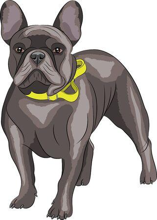 g�n�alogie: Race Bouledogue fran�ais chien, brun, isol� sur fond blanc.
