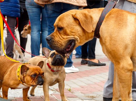 boerboel dog: Dog breed French Bulldog and Boerboel. Stock Photo