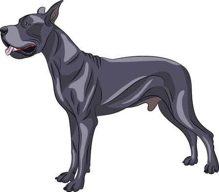 Great Dane dog breed isolated on white background.