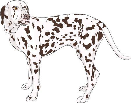 large dog: Large dog breed Dalmatian isolated on a white background.