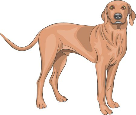 watchful: Brown hunting dog breeds of Vizsla.