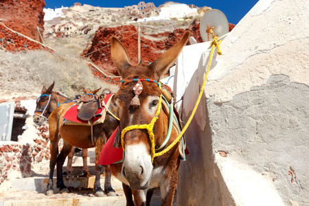 house donkey: Donkeys to transport tourists from the harbor to the village  Oia located at the top of the mountain.