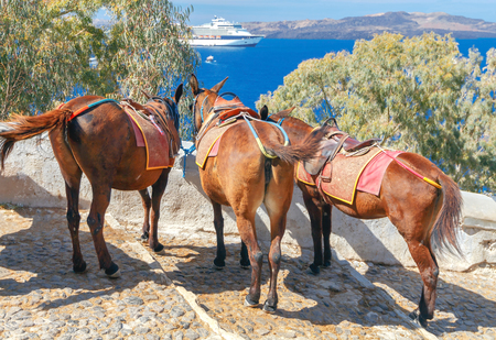 house donkey: Donkeys to transport tourists from the harbor to the village Fira located at the top of the mountain.