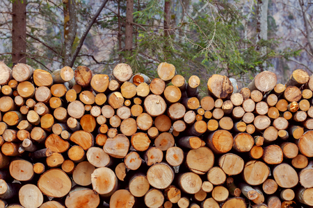 The trunks of the felled trees in the forest. Stock Photo