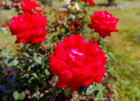 Bush of roses in the garden. Stock Photo