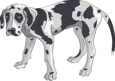 A puppy of a German Great Dane is of marble color with blue eyes. Illusztráció
