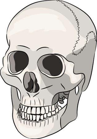 White human skull. Illustration