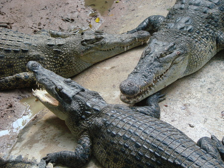 caiman: Crocodiles in nature. Surviving animals. Beautiful and ruthless creatures.