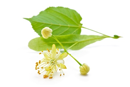 flowers and green leaves of a linden photo
