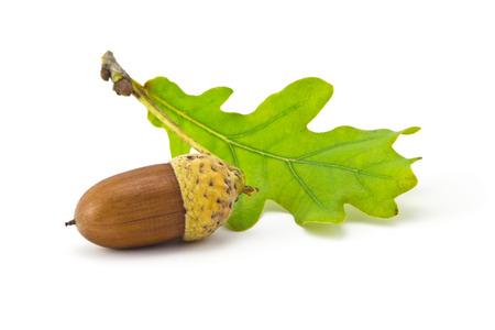 one acorn and oak leaf isolated on white background