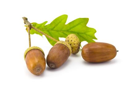 acorn seed: three acorns and oak leaf isolated on white background Stock Photo