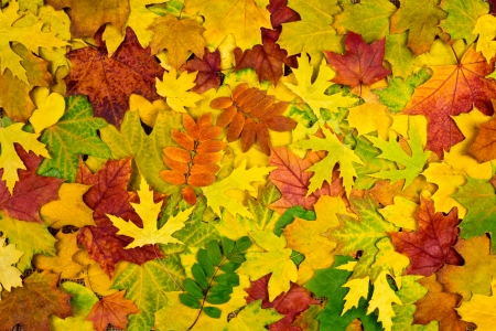 Colorful background of multicolored autumn leaves photo