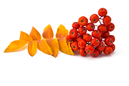 bunchy: berries rowan and autumn leaves on a white background