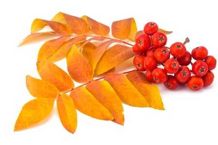 berries rowan and autumn leaves on a white background photo
