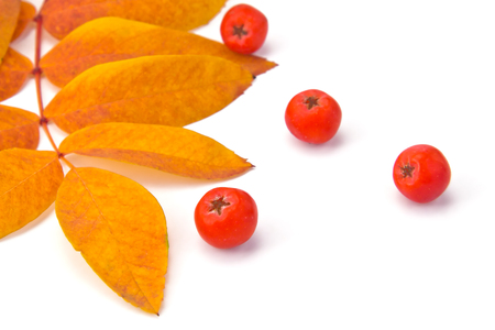 sorb: berries rowan and autumn leaves on a white background