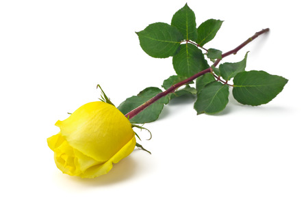 Beautiful yellow rose on a white background photo