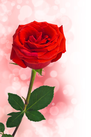 red roses on a pink bokeh background Standard-Bild