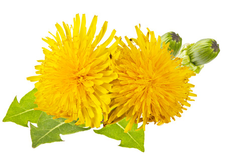 yellow dandelion with green leaves on a white background Imagens