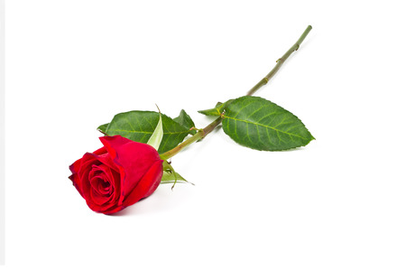 Lone red rose on a white background Standard-Bild