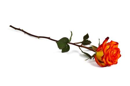 lovelorn: Lonely red-yellow rose on a white background Stock Photo