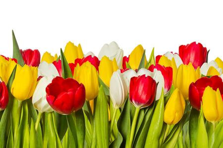tulipan: Wiele tulipanów w różnych kolorach na białym tle
