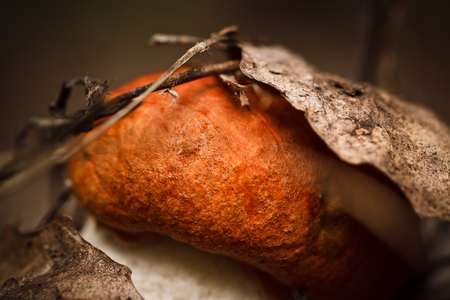 Young cap boletus grown in the forest under an old aspen leaf Фото со стока