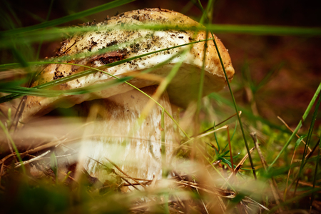Single white mushroom with a porous cap in the grass in the forest