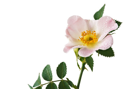 Rosehip flower with green leaves on a white background