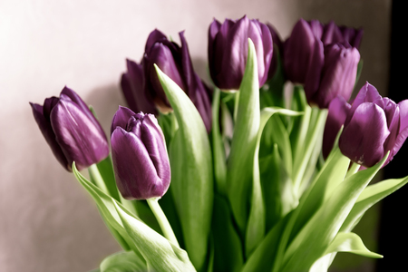 Bouquet of fresh spring purple tulips close up
