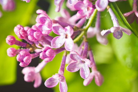 Close up of lilac flowers and leaves