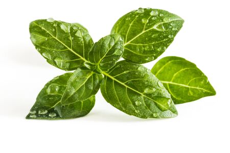 Sprig of basil with water drops on leaves isolated on white background