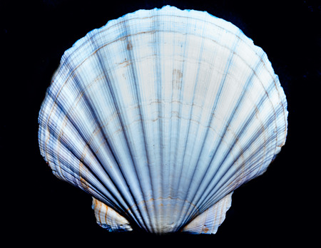 scallop shell: Scallop shell on the black,