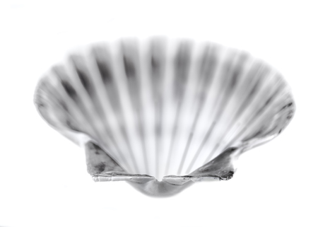 scallop shell: Marine Seashell, scallop shell on the white, Stock Photo