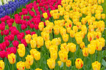 Scenic view over fields of tulips in different colors, Keukenhof, Netherlands Stock Photo