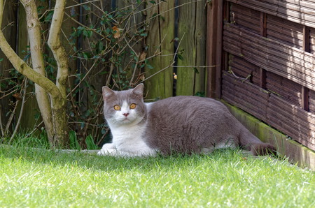 British shorthair cat lies on the edge of a lawn and looks towards camera Stock Photo