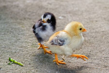 Two little young chicks walking on a stone floor