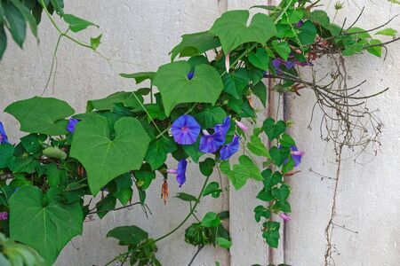 Morning glory flowers against gray building wall