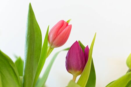 Close-up of two tulips in bloom isolated on white